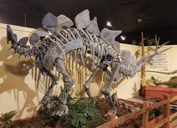 Terrific cast skeleton of Stegosaurus at the Dinosaur Journey Museum of Western Colorado, Fruita, CO.