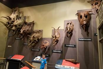 The wall of Ceratopsian skulls at the Burpee Museum of Natural History, Rockford, IL.