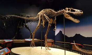 "The beautiful tyrannosaur fossil ""Jane"" at the Burpee Museum of Natural History, Rockford, IL."