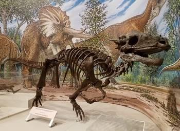 Pachycephalosaurus at the Burpee Museum of Natural History, Rockford, IL.