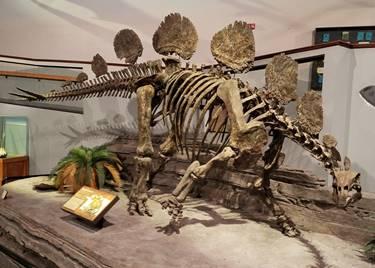 Hesperosaurus display at the Museum of Ancient Life, Lehi, UT. Photo credit: John Gnida.
