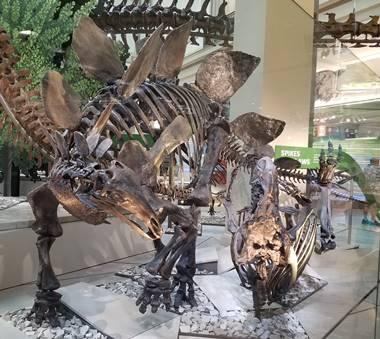 New Stegosaurus display at the Smithsonian National Museum of Natural History, Washington, DC.  Photo credit: John Gnida.