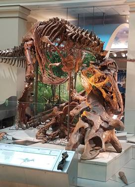 "The ""Nation's T. rex"" on display at the Smithsonian National Museum of Natural History, Washington, DC. Photo credit: John Gnida."