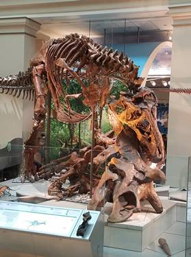 """The Triceratops """"Hatcher"""" is now fallen, under the attack of a Tyrannosaurus.  Smithsonian National Museum of Natural History, Washington, DC.  Photo credit: John Gnida"""