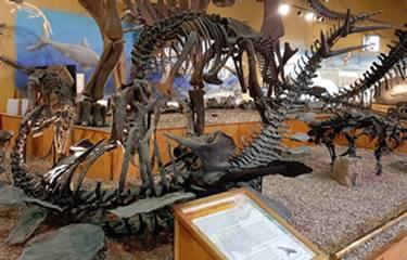 Allosaurus display at the Wyoming Dinosaur Center, Thermpolis, WY.
