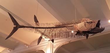Xiphactinus display. American Museum of Natural History, New York, NY. Photo credit: John Gnida.