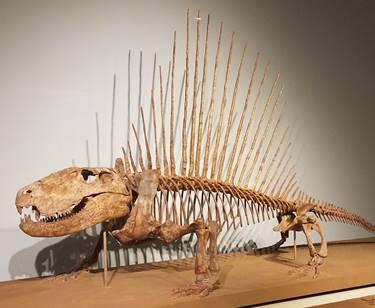 Terrific Dimetrodon display, The Field Museum, Chicago, IL. Photo credit: John Gnida.