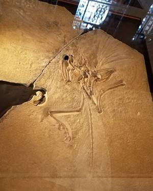 "The ""London Specimen"" is the holotype fossil for Archaeopteryx. Natural History Museum, London, England. Photo credit: John Gnida."
