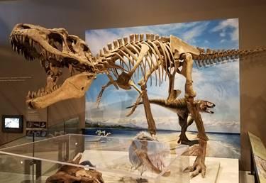 The tyrannosaur Lythronax at the Natural History Museum of Utah, Salt Lake City, UT.  Photo credit: John Gnida.