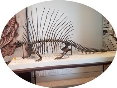 Handsome Edaphosaurus display at the American Museum of Natural History, New York, NY. Photo credit: John Gnida.