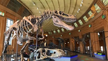 The fierce tyrannosaur Daspletosaurus on display at the Cincinnati Museum of Natural History and Science, Cincinnati, OH. Photo credit: Cincinnati Museum of Natural History and Science.