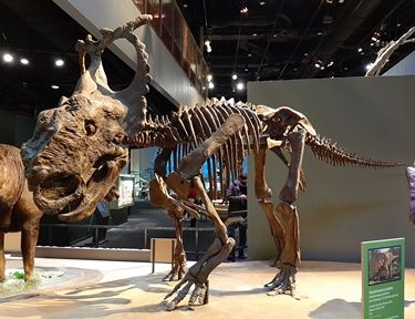 This Pachyrhinosaurus was discovered in Alaska. Perot Museum of Science & Nature, Dallas, TX. Photo credit: John Gnida.
