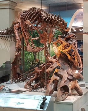 New Tyrannosaurus vs. Triceratops display at the Smithsonian National Museum of Natural History, Washington, DC. Photo credit: John Gnida.