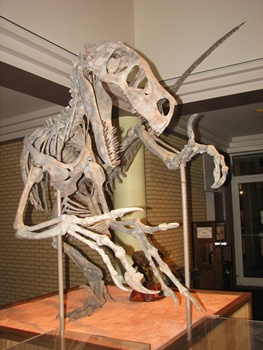 Fantastic Utahraptor mount at the Utah State University Eastern Prehistoric Museum, Price, UT. Photo credit: John Gnida.