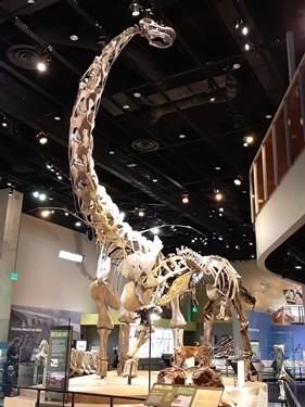 Alamosaurus and Tyrannosaurus at the Perot Museum of Nature and Science, Dallas, TX. Photo credit: John Gnida.