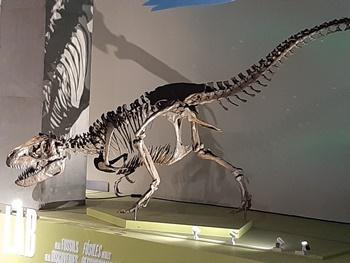 The Alaskan tyrannosaur Nanuqsaurus standing above the paleontology lab at the Perot Museum of Nature and Science, Dallas, TX. Photo credit: John Gnida.