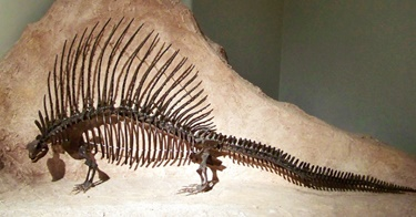 Edaphosaurus display at the Texas Memorial Museum, Austin, TX. Photo credit: Mike Fitzgerald (Flickr).